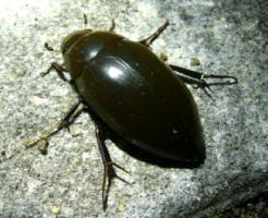 ガムシ 幼虫 大きさ