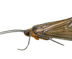 トビケラ 幼虫 種類