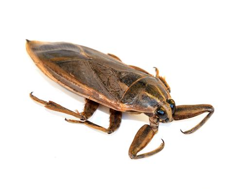 タガメ 幼虫 大きさ