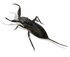 タイコウチ 絶滅危惧種