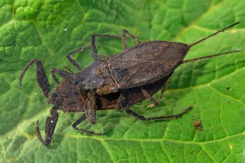 タイコウチ 幼虫 飼育 餌