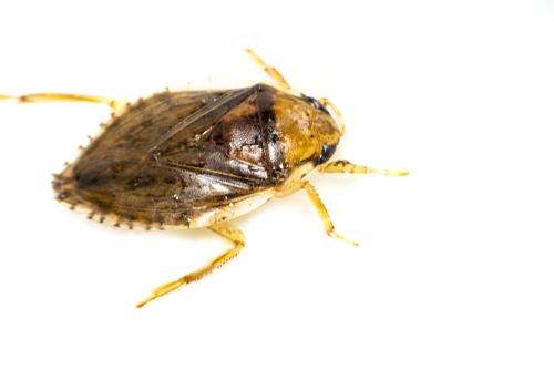 コオイムシ 幼虫