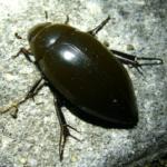 ガムシの幼虫の大きさや特徴とは!?