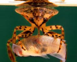タガメ 幼虫 飼育 えさ