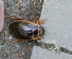 ゲンゴロウ 幼虫 危険 毒